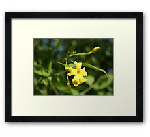 Carolina Jasmine Single Bloom In Sunlight Framed Print
