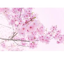 sweet sakura Photographic Print