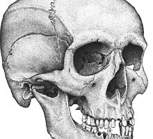 Human Male Skull by jcaillustration