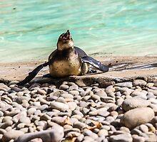 Belly Sliding Penguin by TrottShots