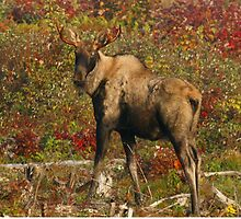 Maine Bull Moose in the fall by Enola-Gay Wagner