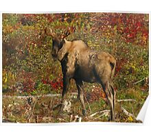 Maine Bull Moose in the fall Poster
