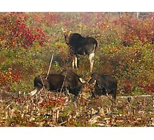 Maine bulls & cow moose Photographic Print