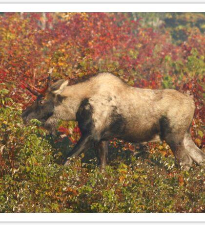 Maine Piebald Bull Moose  Sticker