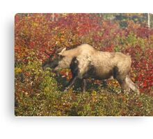 Maine Piebald Bull Moose  Canvas Print
