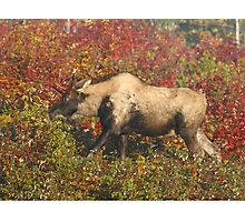 Maine Piebald Bull Moose  Photographic Print