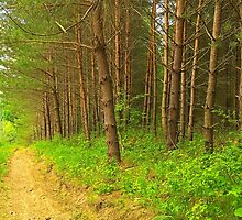 Pine forest near mud road alley by juras