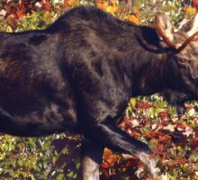 Maine Bull Moose  Sticker