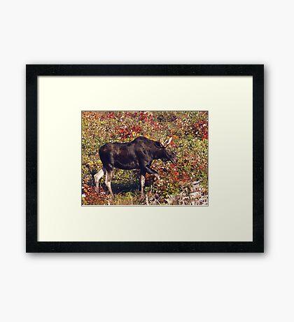 Maine Bull Moose  Framed Print