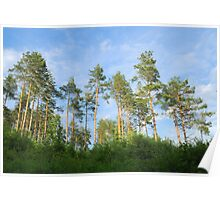 Pine forest in the summer Poster