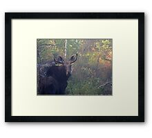 Maine Bull Moose in the woods at dawn Framed Print