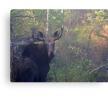 Maine Bull Moose in the woods at dawn Canvas Print