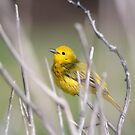 Yellow Warbler in the Reeds by hummingbirds