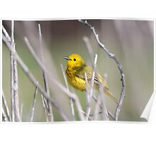 Yellow Warbler in the Reeds Poster