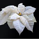 White Star Poinsettia by Floyd Hopper