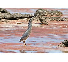 """Striated Heron ~ """"The Statue""""  Photographic Print"""