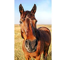 Chestnut Horse Photographic Print