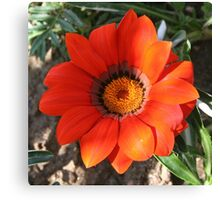 Close Up of a Beautiful Terracotta Gazania Flower Canvas Print