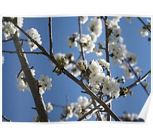 Cherry Blossom Branches Against Blue Sky Poster