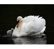 Swan with Cygnet Photographic Print