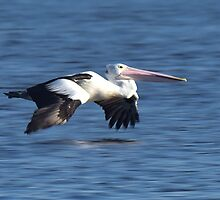 Pelican by Neil Bushby