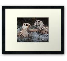 White Tigers Play Fighting Framed Print