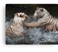 White Tigers Play Fighting Canvas Print