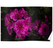 Silky Pink Cactus Blooms Poster
