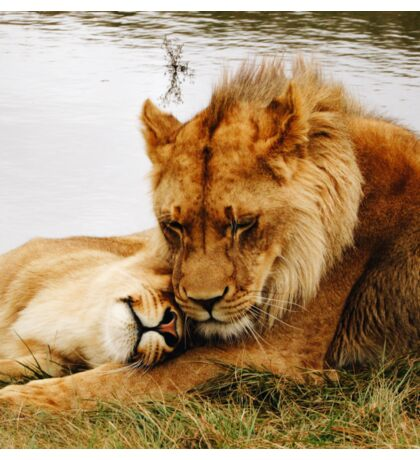 Lion Relationship Goals  Sticker