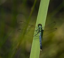 Pond Jewel - Blue and Green Dragonfly by Georgia Mizuleva