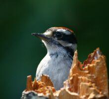 Downy Woodpecker Sticker