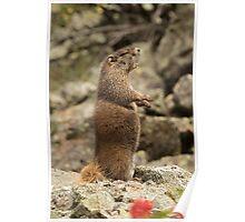 Marmot Alert Poster