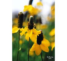 Yellow Mexican Hats Photographic Print