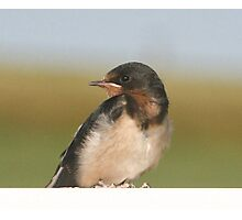 Barn Swallow Photographic Print