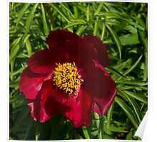Deep Red Peony With Bright Yellow Stamens  Poster