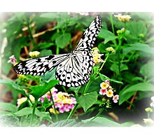 The Common Mime Butterfly on flowers Photographic Print