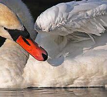 Mute Swan Close Up by Robert Taylor