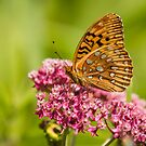 Fritillary On Milkweed 2014-1 by Thomas Young