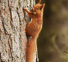 Red Squirrel Climbing Pine Tree by Nigel Tinlin