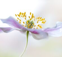 Wood anemone by Mandy Disher