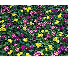 Flower Bed, California, Floral Pattern Photographic Print