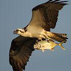 Osprey Fishing by William C. Gladish