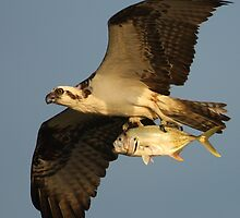 Osprey Fishing by William C. Gladish, World Design
