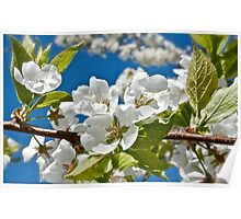 Plum Tree Blossoms Poster