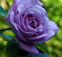 A Perfect Blue Moon Rose  by MidnightMelody
