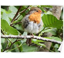 Fluffy Robin Red Breast  Poster