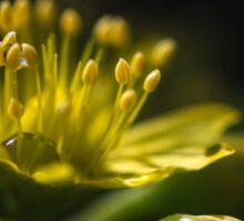 Aeonium Arboreum (Crassulaceae) Sticker