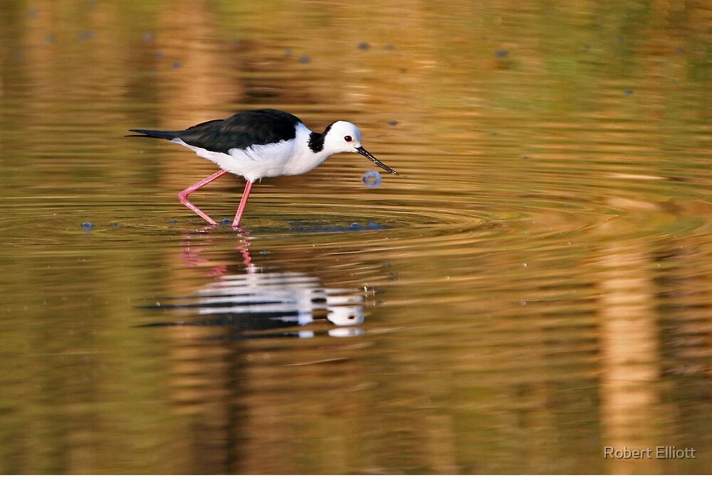 Black-winged Stilt ~ On Golden Ponds by Robert Elliott