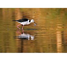 Black-winged Stilt ~ On Golden Ponds Photographic Print
