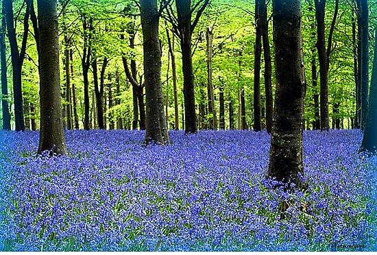 Haze Of Blue - Bluebell Wood Dorset by naturelover